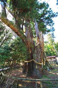 杉の大杉の写真素材 [FYI02817022]