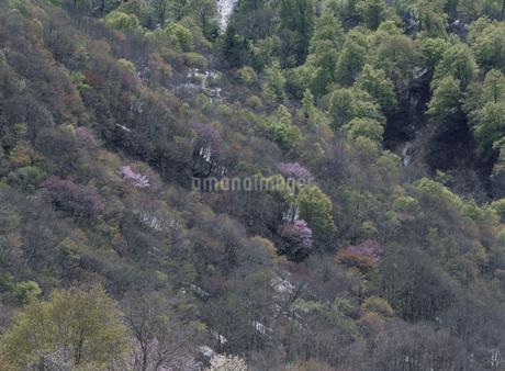 新緑の山の写真素材 [FYI02817122]