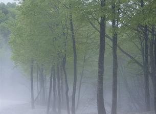 霧のブナ林の写真素材 [FYI02817185]