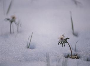 雪から芽吹くセツブンソウの写真素材 [FYI02817301]