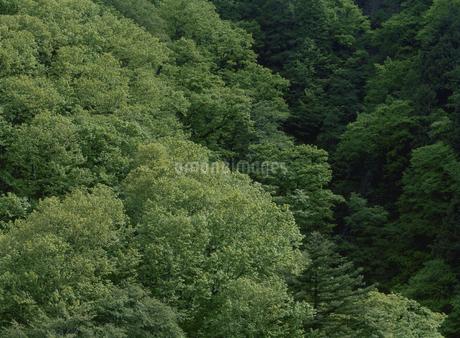 新緑のブナ森林の写真素材 [FYI02817324]