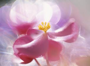 ベコニアの花のアップの写真素材 [FYI02817333]