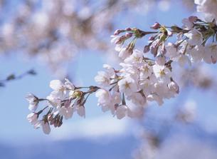 ソメイヨシノの花のアップの写真素材 [FYI02817481]