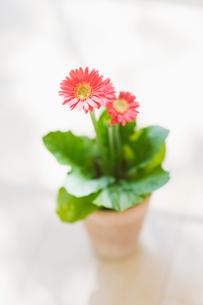 ガーベラの鉢植えの写真素材 [FYI02817856]