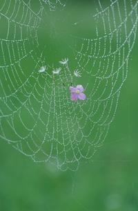 クモの巣の写真素材 [FYI02817916]