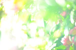 サザンカの写真素材 [FYI02817969]