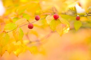 木の実の写真素材 [FYI02817971]