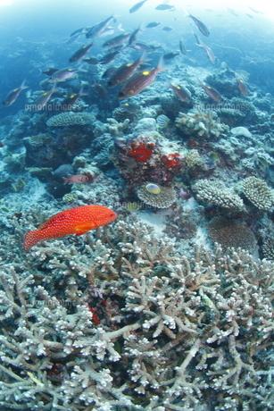 サンゴ礁を泳ぐアザハタ(手前)とノコギリダイの群れの写真素材 [FYI02817999]