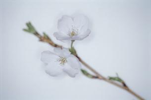 桜の写真素材 [FYI02818032]