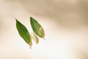 3つの葉っぱの写真素材 [FYI02818180]