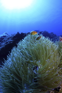 宮古島 八重干瀬のイソギンチャクとハナビラクマノミの写真素材 [FYI02818211]
