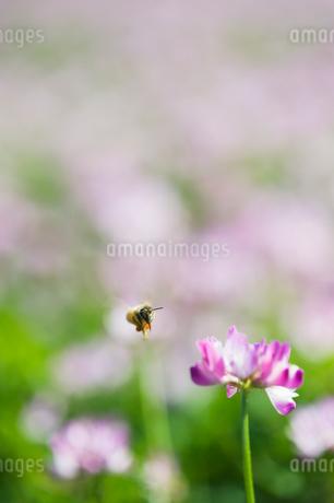 レンゲ畑で蜜を集めるミツバチの写真素材 [FYI02818244]