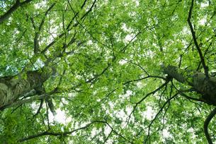 2本の新緑の樹の写真素材 [FYI02818252]