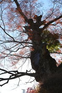 紅葉した御岳山の神代欅の写真素材 [FYI02818254]
