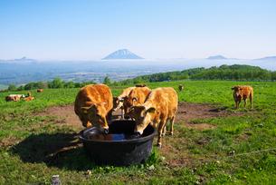 羊蹄山の雲海と牛の写真素材 [FYI02818407]