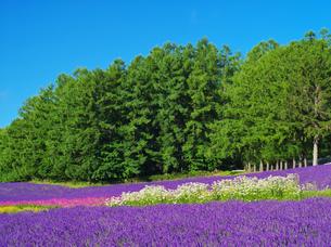 ファーム富田 彩りの畑の写真素材 [FYI02818431]