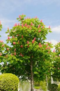 紅花のマロニエの写真素材 [FYI02818524]