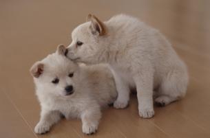 子犬の写真素材 [FYI02818670]