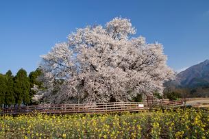 一心行の大桜の写真素材 [FYI02819247]