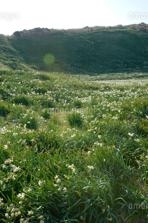 海側から見た爪木崎の水仙群生地の写真素材 [FYI02820176]