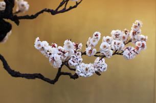 金バックの梅の写真素材 [FYI02821297]