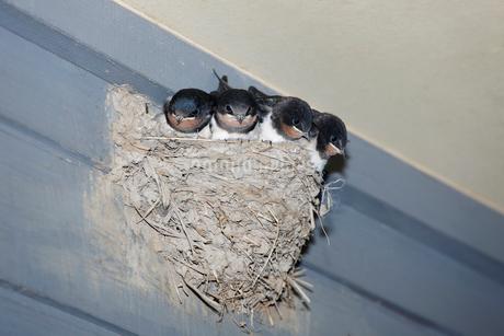 ツバメの巣の写真素材 [FYI02821562]
