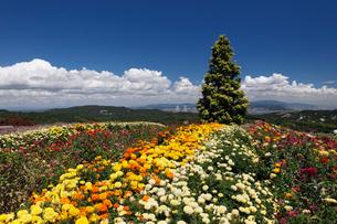 キンセンカの咲くあわじ花さじきの写真素材 [FYI02822044]