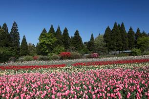 くじゅう花公園のチューリップ畑の写真素材 [FYI02822112]