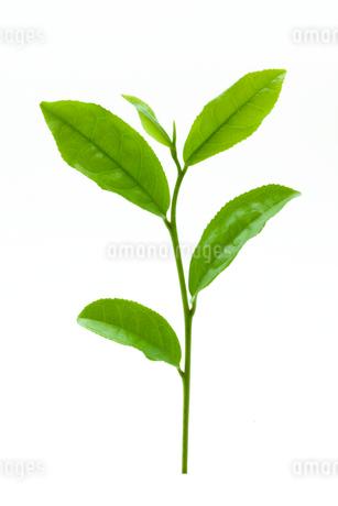 茶葉の写真素材 [FYI02822165]