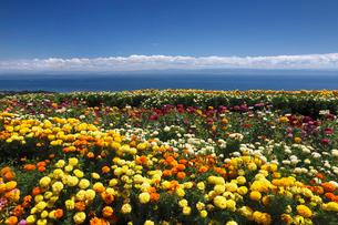 キンセンカの咲くあわじ花さじきの写真素材 [FYI02822238]