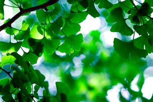 新緑のイチョウの葉と木漏れ日の写真素材 [FYI02822878]