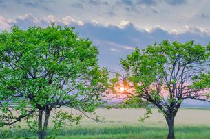 新緑の樹木と麦畑と夕日の写真素材 [FYI02823059]
