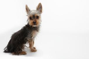 座るヨークシャテリアの子犬の写真素材 [FYI02823279]