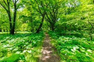 奥日光 マルバタケブキの群生する森の山道の写真素材 [FYI02823470]