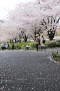 檜町公園のアスファルト道路と桜並木の写真素材 [FYI02823598]