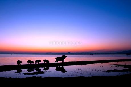 湖畔を散歩するイノシシの親子のシルエットの写真素材 [FYI02823689]