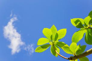 新緑のリョウブの若葉と雲の写真素材 [FYI02823865]