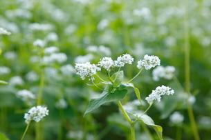 そばの花の写真素材 [FYI02823945]