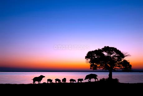 湖畔を散歩するイノシシの親子のシルエットの写真素材 [FYI02824004]
