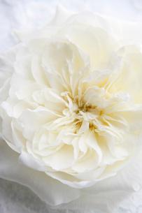 白いレースの上に置かれた白いバラの写真素材 [FYI02824076]