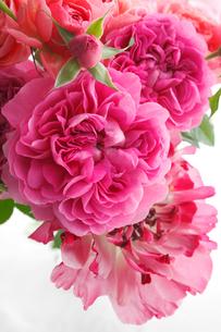 バラとラナンキュラスの写真素材 [FYI02824153]