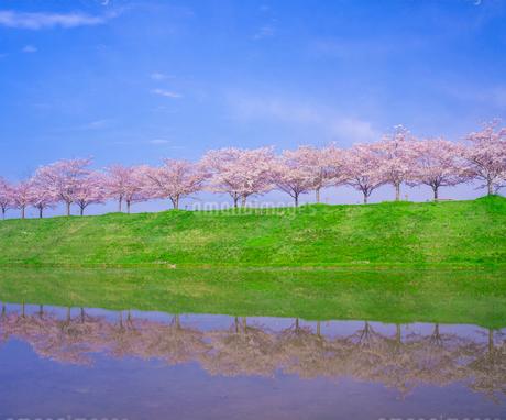 水鏡に写る桜並木 (ソメイヨシノ)と青空の写真素材 [FYI02824181]