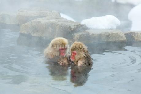 親子と母ザルの仲良しザルと温泉に入るの写真素材 [FYI02824213]