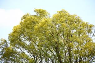 タチヤナギの若葉に風そよぐの写真素材 [FYI02824279]