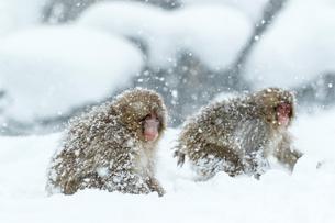 吹雪の中の子ザルの写真素材 [FYI02824428]
