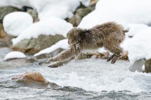 川をジャンプするニホンザルの写真素材 [FYI02824472]