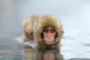 温泉に入る子ザルの写真素材 [FYI02824575]