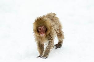 雪の上の子ザルの写真素材 [FYI02824591]