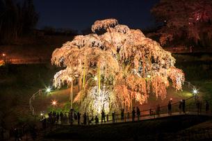 ライトアップされた滝桜の写真素材 [FYI02824604]