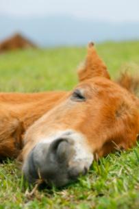 昼寝をするミサキウマの赤ちゃんの写真素材 [FYI02824612]